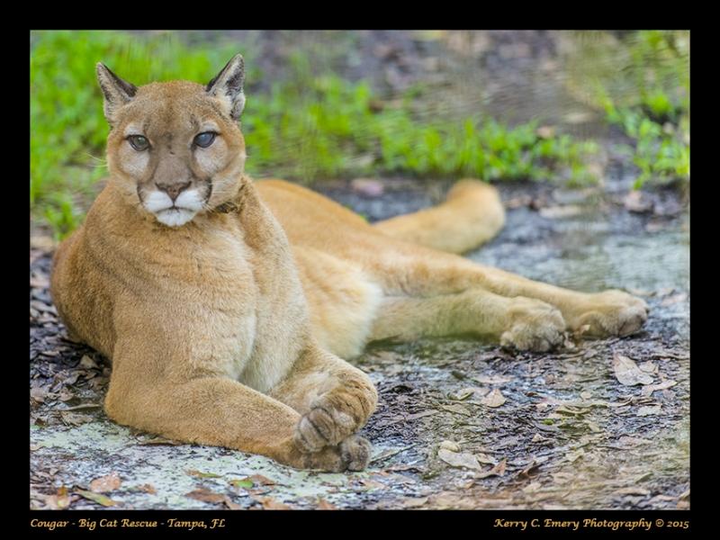 BigCat_Cougar01
