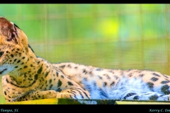 BigCat_Serval_edit2