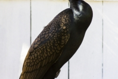 Twin Crested Cormorant